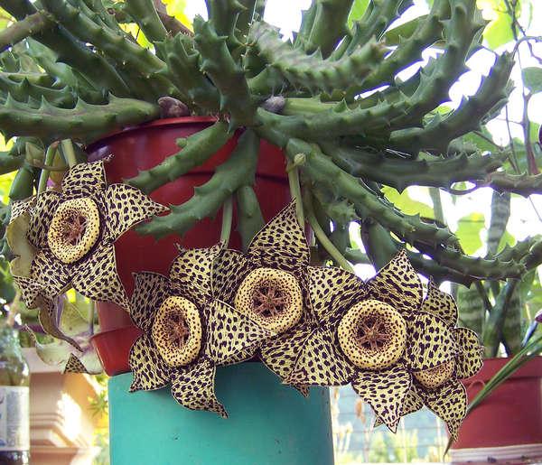 Комнатные цветущие растения фото 9384