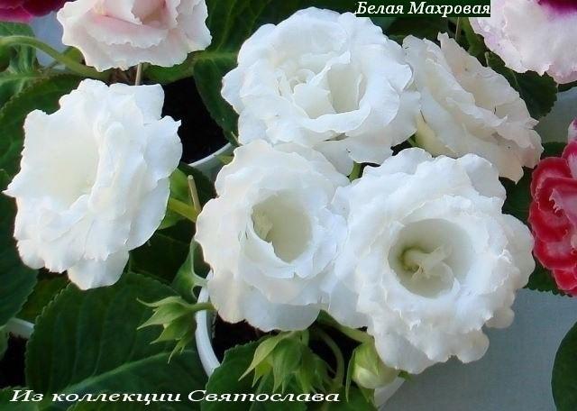 Махровые белые цветы