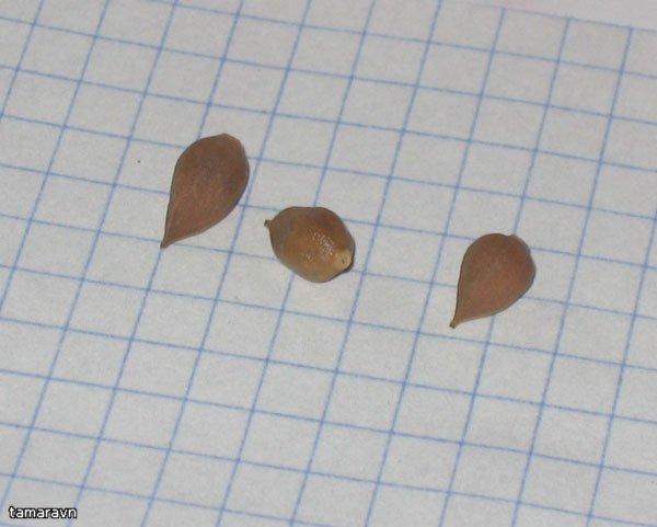 Как выглядят семена нарциссы