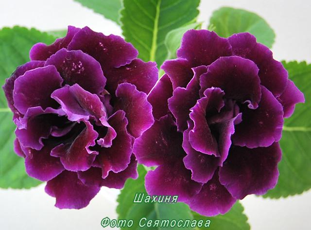 Фото цветов глоксинии махровой