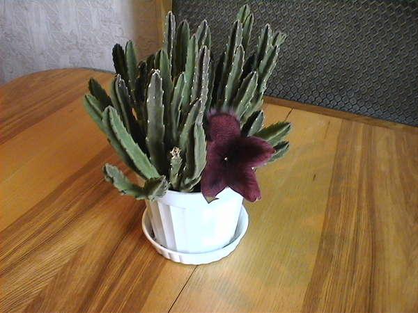 Комнатный вонючий цветок