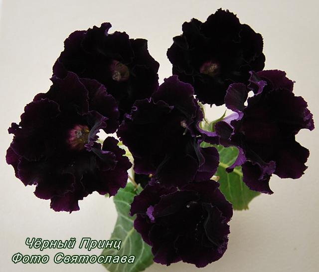 Черный принц цветок фото