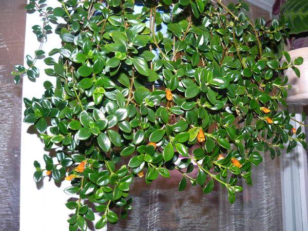 Альсобия  растение для подвесных корзинок и кашпо