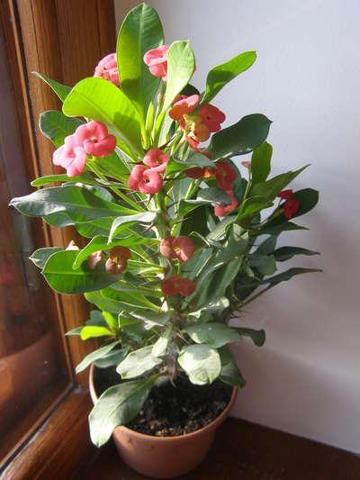 Молочай Миля - Комнатные растения и цветы 67