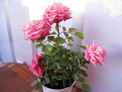 Купить бенгальские розы доставка цветов горки