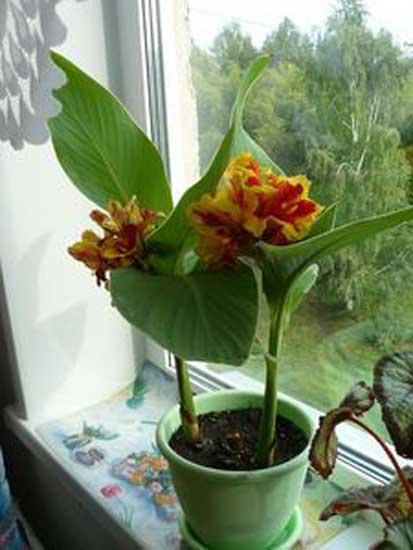 Комнатный растение с цветами 60