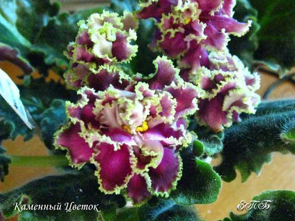 фото фиалка каменный цветок