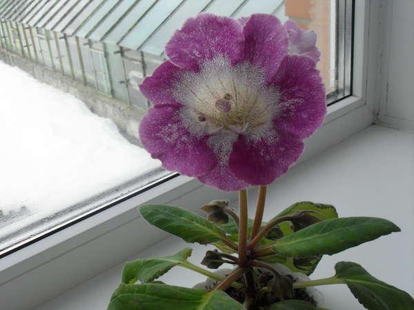 Мадам помпадур цветок фото