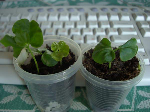 Садовый гибискус: посадка и размножение, фото, выращивание 73