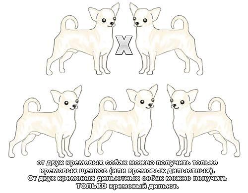 Генетика окраса чихуа - Страница 3 127272627260296044