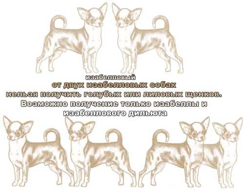Генетика окраса чихуа - Страница 3 1272726291866671