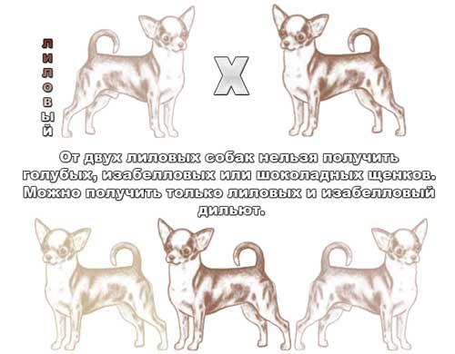 Генетика окраса чихуа - Страница 3 127272631798753217