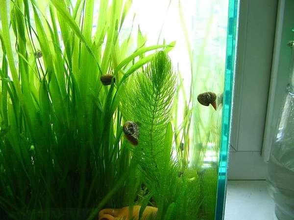Водоросли в аквариуме Обзор - Форум аквариумистов