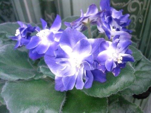 Синяя Вспышка (Морев), Геснериевые от Ulmo, Фиалки, форум
