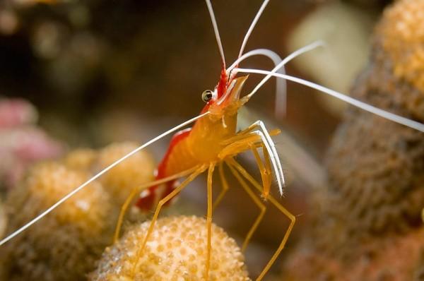 как ловить креветки в охотском море