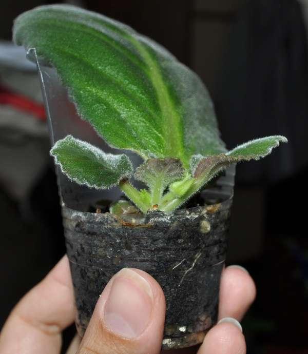 у глоксинии не растут листья было дано