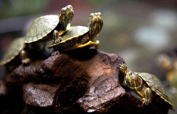 Красноухие черепахи могут жить