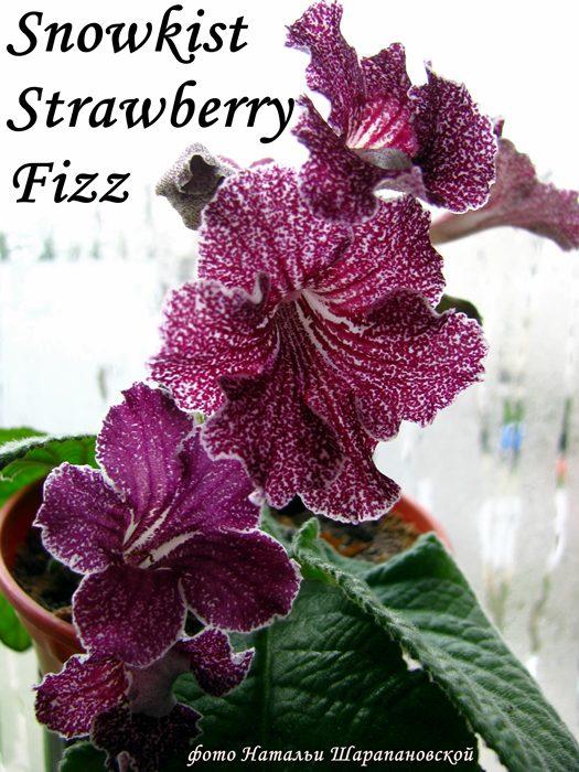 Snowkist Strawberry Fizz (Kuepte), Геснериевые от Ulmo, Фиалки, форум