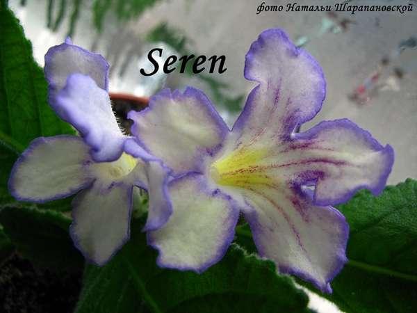 Seren (Dibley), Геснериевые от Ulmo, Фиалки, форум