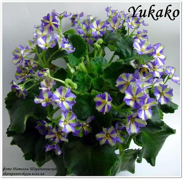 yukako фиалка фото