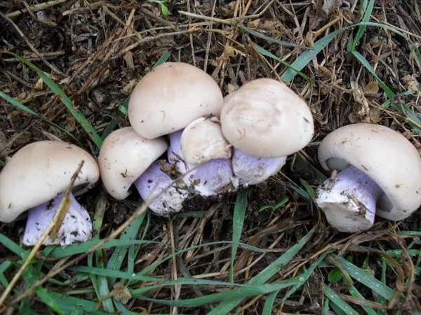 грибы фото с синей ножкой