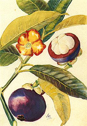 растение мангустин