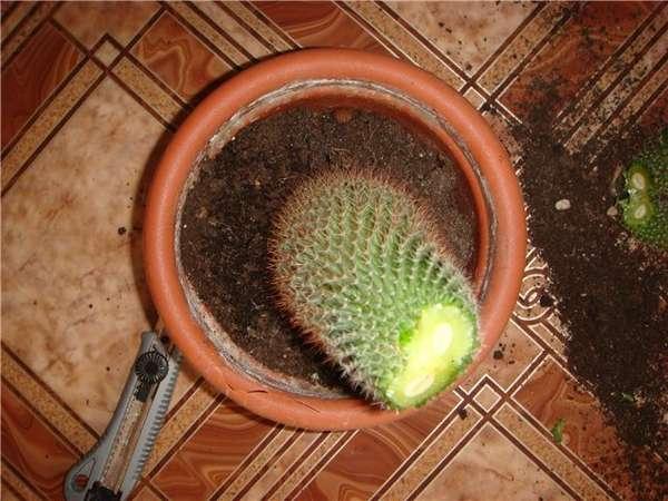 Как сажать кактусы без корней 82