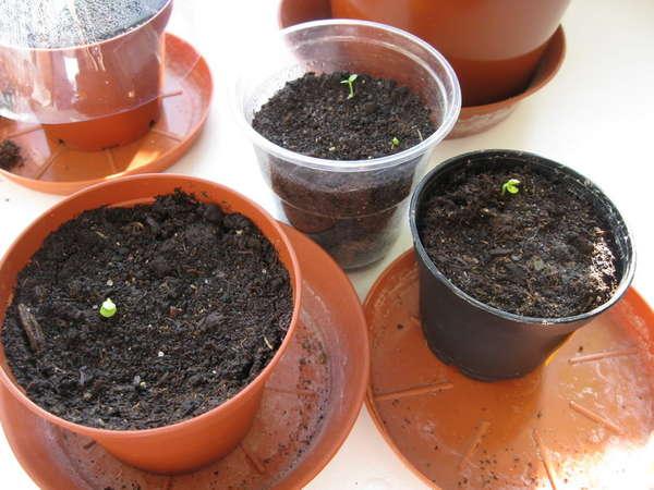 Когда сажать бальзамины семенами 904
