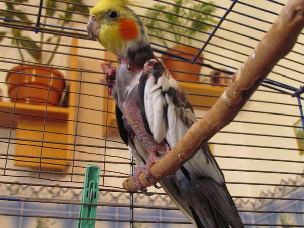 Почему попугай корелла линяет