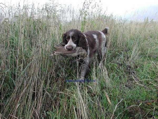 Порода собак Русский охотничий спаниель
