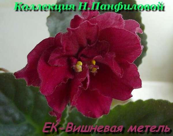 вишневая метель фиалка фото