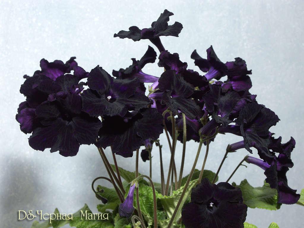 фиалка черная фото
