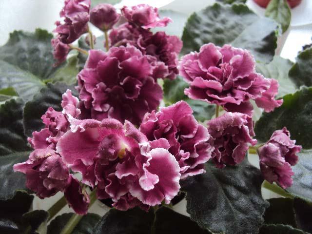 Комнатный цветок цикламен уход