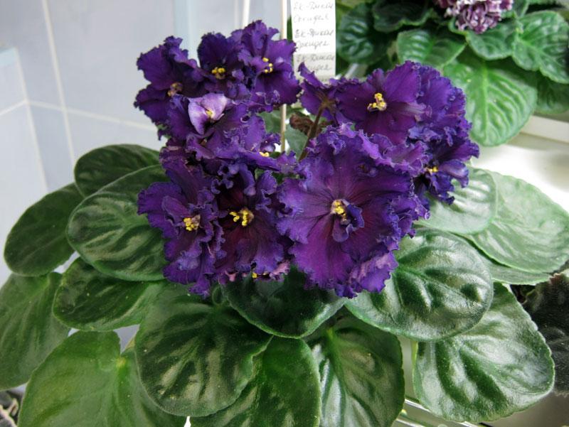 Фото фиалка ек дикая орхидея