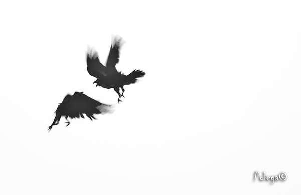Ворон черно белый