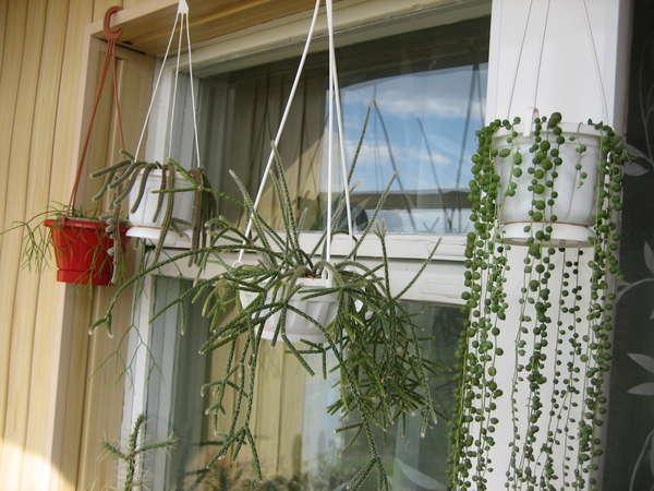Фото цветов комнатных висячих