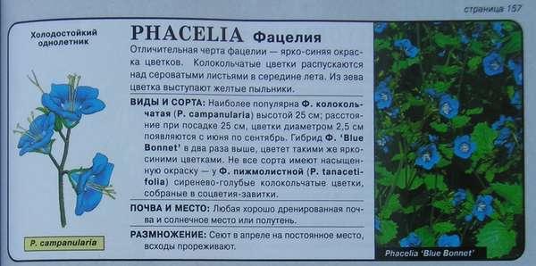 Фацелия колокольчатая цветы