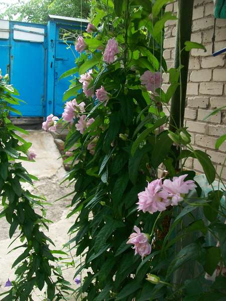 Калистегия цветок
