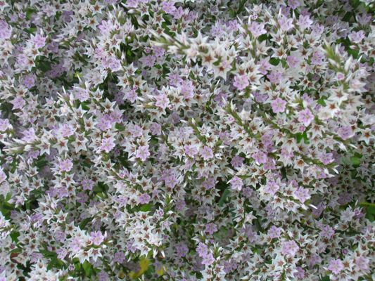 Кермек татарский цветов