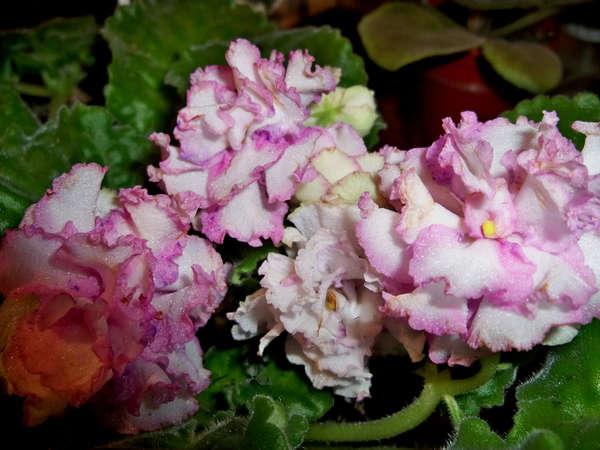 самоцветы фото фиалка