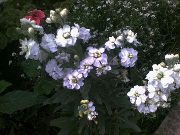 Мои садовые цветы и кустарники