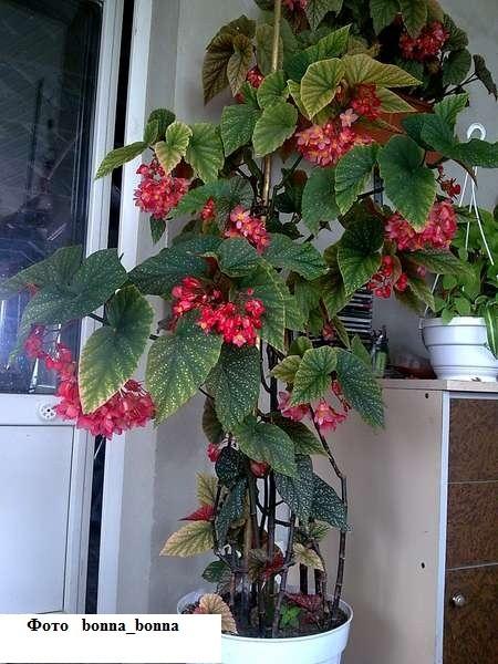 - Begonia argentata ...