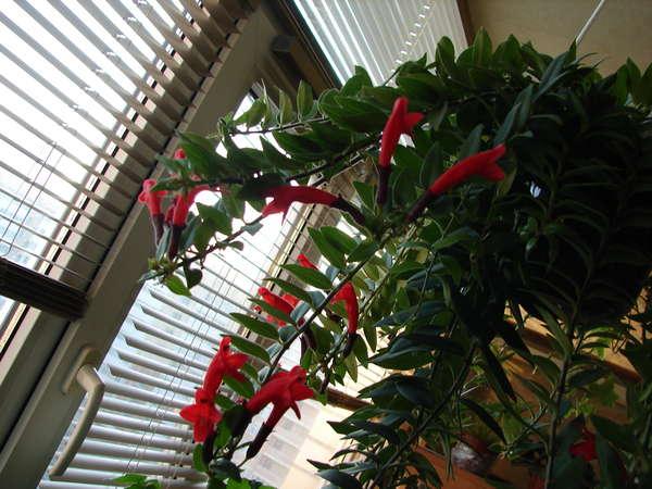 эсхинантус твистер уход в домашних условиях размножение