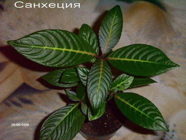 Цветок зеленые листья с белыми прожилками фото