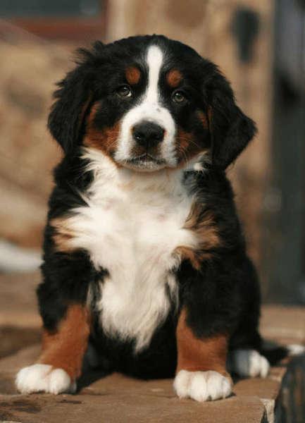 породы пастушьих собак с фотографиями и названиями пород
