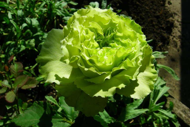 Зеленые цветы фото