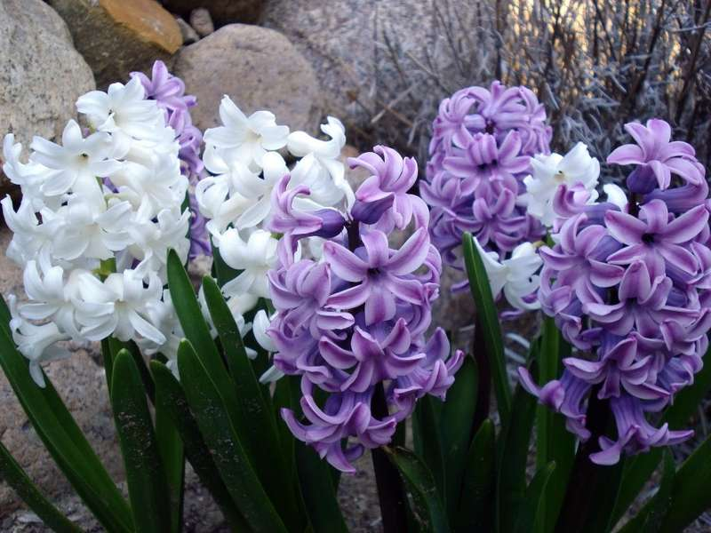Цветка гиацинт по гречески означает