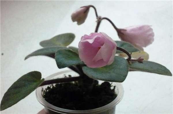 фиалка rose garden фото