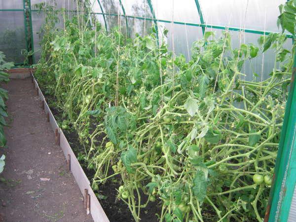 Когда и как сажать арбузы на рассаду 17