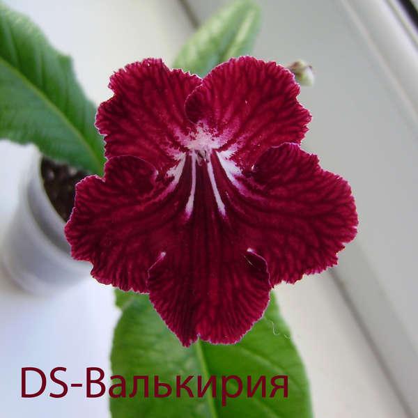 DS-Валькирия (Dimetris), Геснериевые от Ulmo, Фиалки, форум